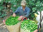 Japanese market shows interest in Vietnamese seedless limes
