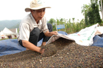 Viet Nam's pepper faces stern quality challenge