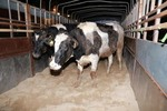 TH Group imports 1,800 more dairy cows from US