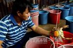 Ca Mau hopes crabs are the next big thing