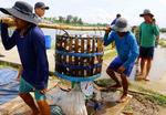 Tra fish prices high on low supply, processers face shortage