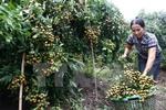 Viet Nam to export longans to Australia