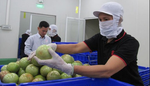 Tien Giang tightens quality control of star apples