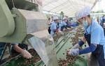 Binh Phuoc cashew gets GI certified
