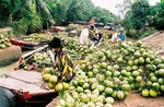 Tra Vinh to aid coconut producers
