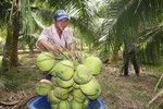 Ben Tre to push Xiem coconut exports