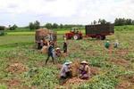 Cassava exports to Japan surge