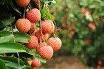 Bac Giang to record $240 million in lychee value