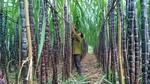 Sugarcane faces plummeting prices