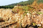 'Kingdom of Garlic' faces challenges as prices fall