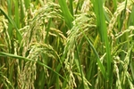 Rice export volume up but value falls
