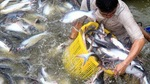 Viet Nam to fall short of fisheries export target