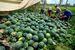VN's watermelons face many regulations from China