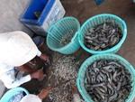 Viet Nam targets $4.2b in shrimp export value this year