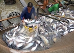Japan among top 10 importers of Viet Nam's tra fish for first time