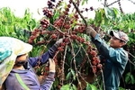 VN coffee exports plummet as robusta prices fall