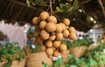 First batch of Vietnamese longan enters Australia