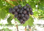 South African company to export fresh grapes to Viet Nam