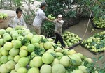 Chile opens door for Viet Nam's pomelo
