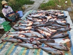 Tra fish famers, exports hit hard by Covid-19 pandemic