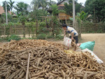 Viet Nam sees cassava export reduction in two months of 2020