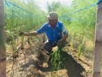 Vietnamese asparagus could enter Australian market this month