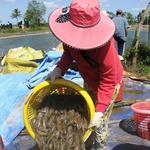 Mekong Delta shrimp prices fall as COVID-19 hits demand