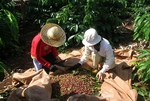 Coffee industry to facemore losses in Q2
