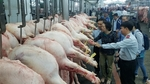 MARD requests local pig breeding farms and households to decrease live hog price