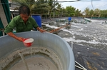 Ca Mau shrimp industry picks up