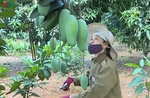 Son La mangoes exported to US, Canada and Australia