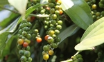 MoIT seeks way to help businesses re-export pepper stuck in Nepal