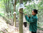 Rubber companies report lower earnings amid falling rubber prices