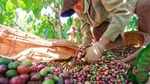 Viet Nam's coffee exports up in H1