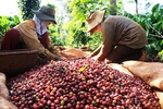 Viet Nam becomes Japan's biggest coffee supplier