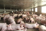 Pig re-herding and lunar July push hog prices down