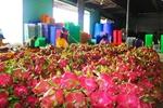 Binh Thuan enhances dragon fruit exports