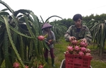 More than 14,000 tonnes of dragon fruit exported to China via Lao Cai border gates