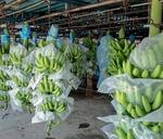 SBT exports South American bananas to South Korea