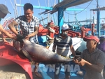 Tuna fish catches continue to fall