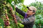 Japanese beverage firm helps coffee growers in VN