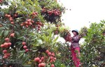 Portal expected to reach big lychee consumers