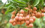 Vietnamese lychees confident of winning over consumersin Netherlands