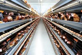 CP VN to develop project to breed chicken