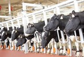 TH Group rolls out largest dairy cow project in Central Highlands