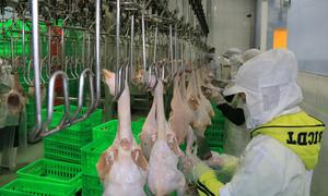 VN's chicken industry takes flight