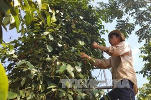 Pepper of Lam San Agricultural Cooperative meets EU organic standards