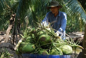 Ben Tre's green Xiem coconut gets certificate of Geographical Indication