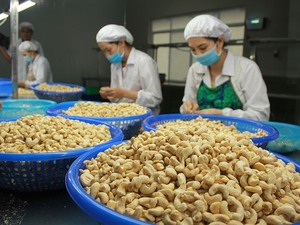 Price of cashew nuts plummet as quality declines