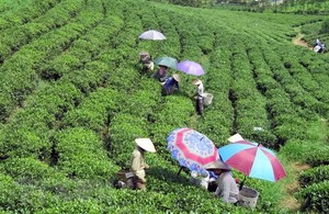 Low quality, lack of brands hinder tea exports